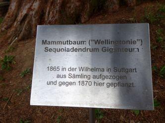 Infotafel zum Mammutbaum